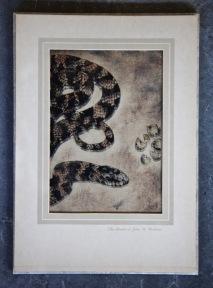 Short-tailed Snake